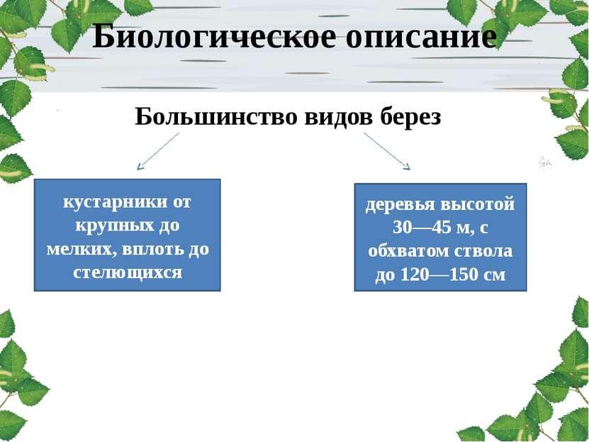 Биологическое описание Большинство видов берез деревья высотой 30—45 м, с обх...