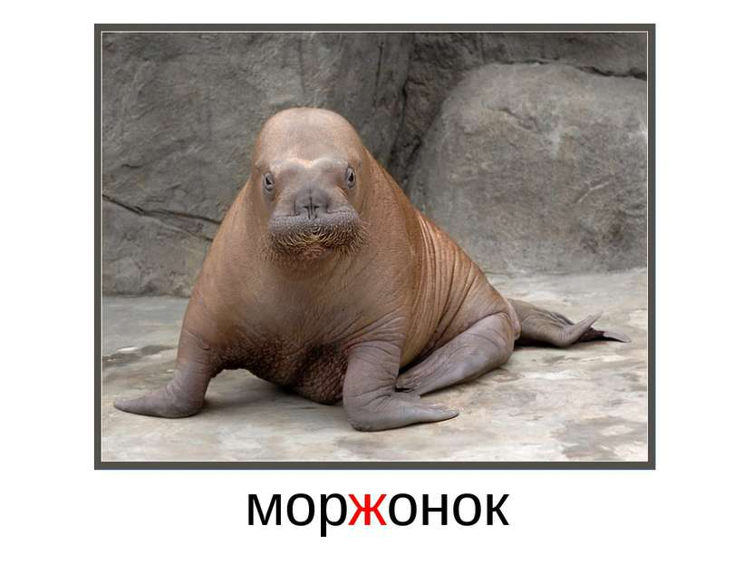 моржонок