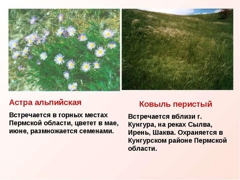 Астра альпийская Встречается в горных местах Пермской области, цветет в мае, ...