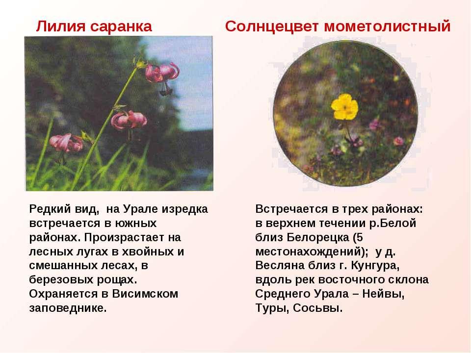 Лилия саранка Солнцецвет мометолистный Редкий вид, на Урале изредка встречает...