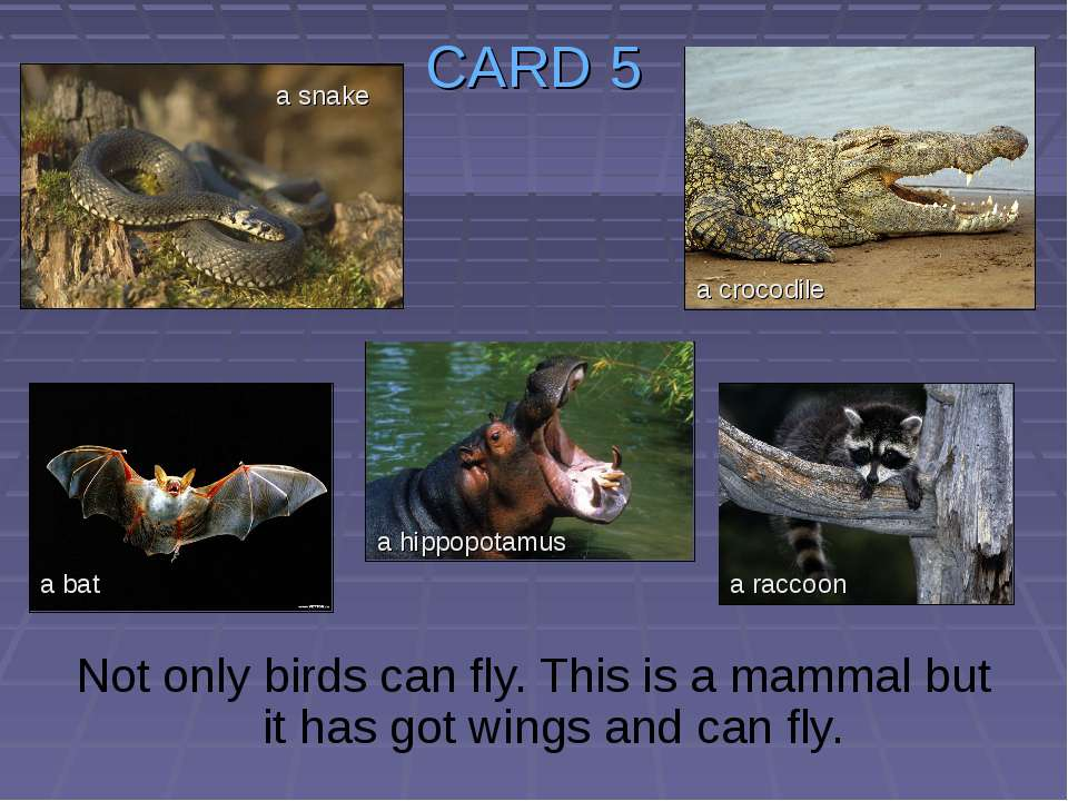 CARD 5 Not only birds can fly. This is a mammal but it has got wings and can ...