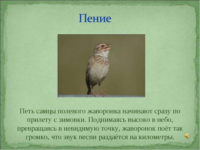 Петь самцы полевого жаворонка начинают сразу по прилету с зимовки. Поднимаясь...