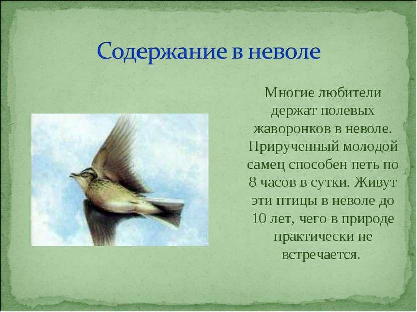 Многие любители держат полевых жаворонков в неволе. Прирученный молодой самец...
