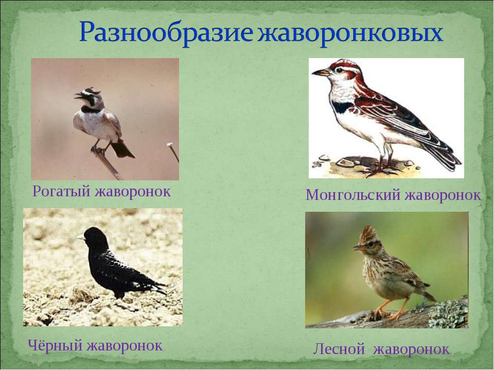 Рогатый жаворонок Монгольский жаворонок Чёрный жаворонок Лесной жаворонок