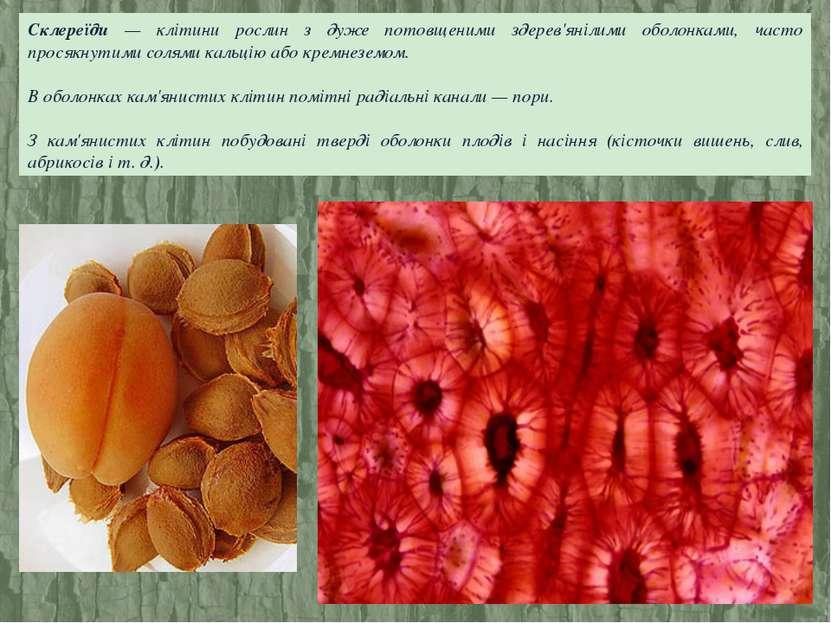 Склереїди — клітини рослин з дуже потовщеними здерев'янілими оболонками, част...