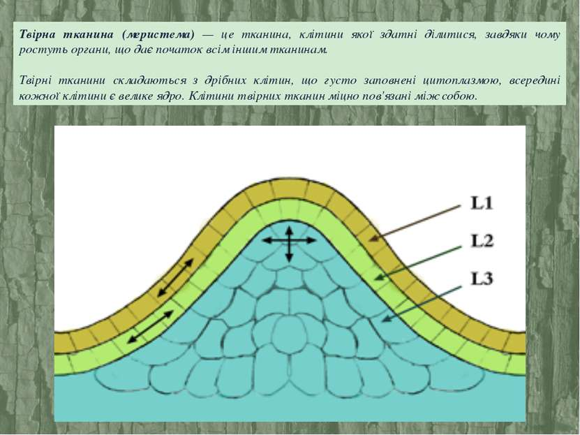 Твірна тканина (меристема) — це тканина, клітини якої здатні ділитися, завдяк...