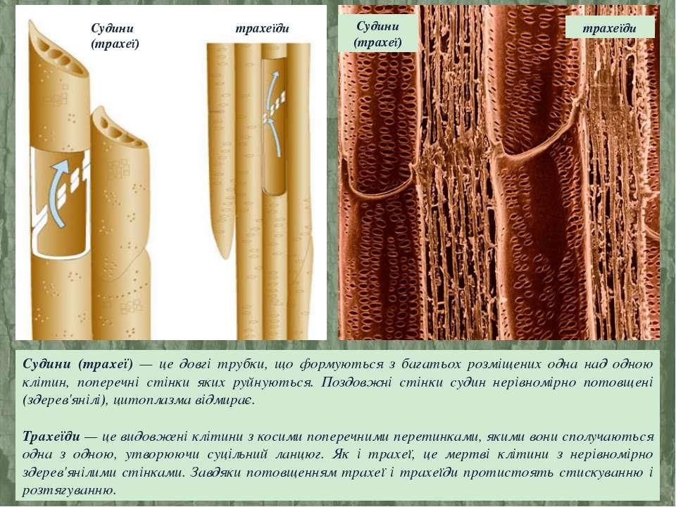 Судини (трахеї) — це довгі трубки, що формуються з багатьох розміщених одна н...