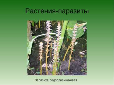 Растения-паразиты Заразиха подсолнечниковая