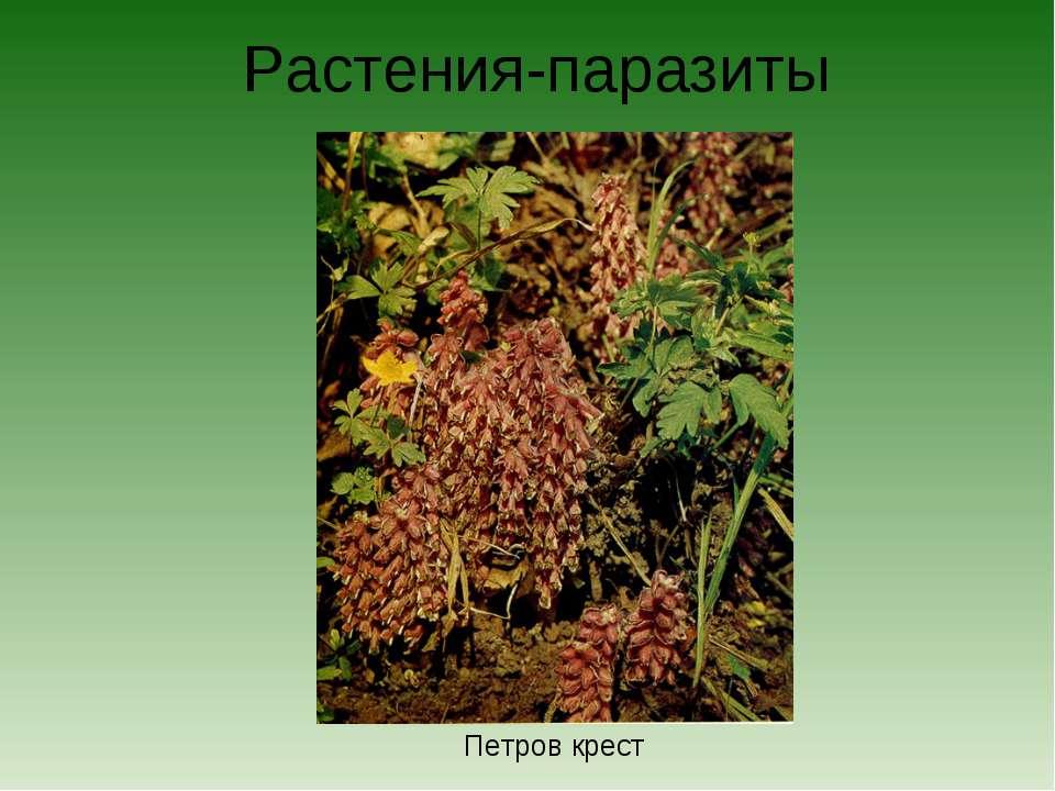 Растения-паразиты Петров крест