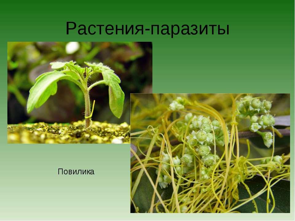 Растения-паразиты Повилика