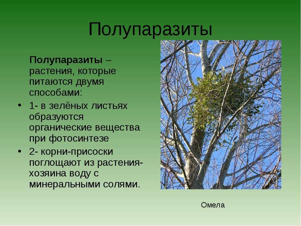Полупаразиты Полупаразиты – растения, которые питаются двумя способами: 1- в ...