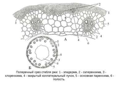 Поперечный срез стебля ржи: 1 - эпидерма, 2 - склеренхима, 3 - хлоренхима, 4 ...