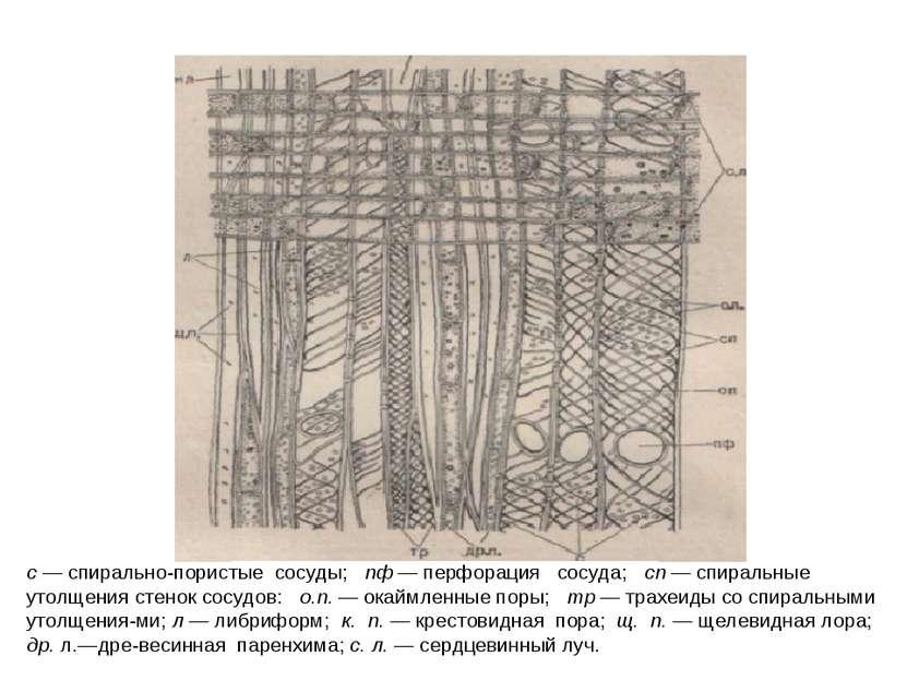с — спирально-пористые сосуды; пф — перфорация сосуда; сп — спиральные утолще...
