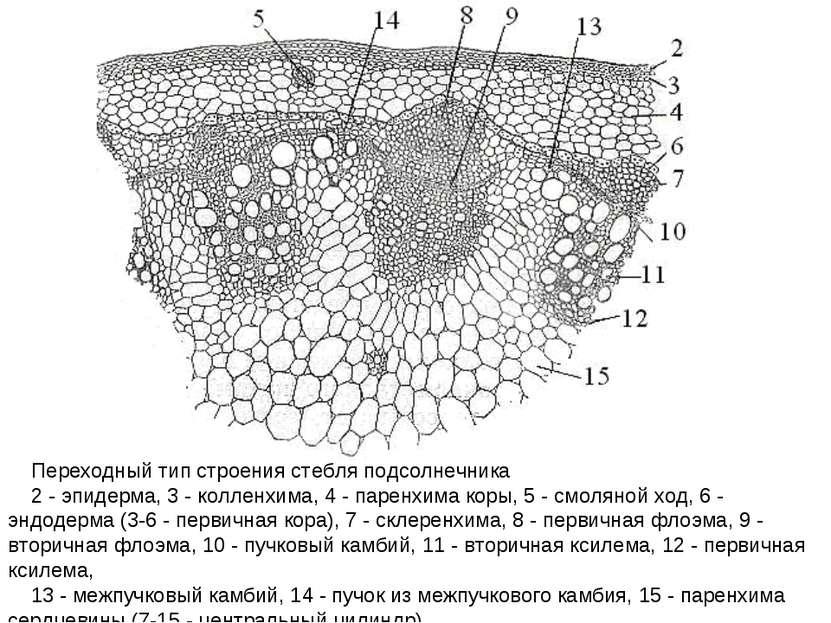 Переходный тип строения стебля подсолнечника 2 - эпидерма, 3 - колленхима, 4 ...
