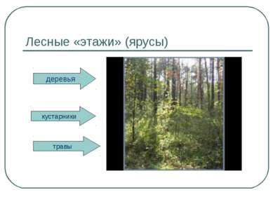 Лесные «этажи» (ярусы) деревья кустарники травы