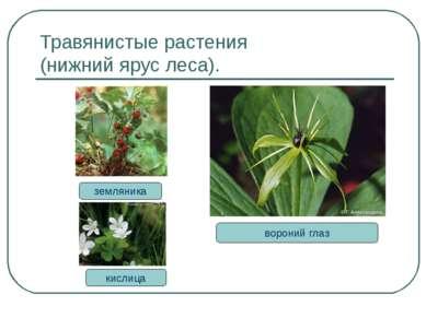 Травянистые растения (нижний ярус леса). земляника вороний глаз кислица