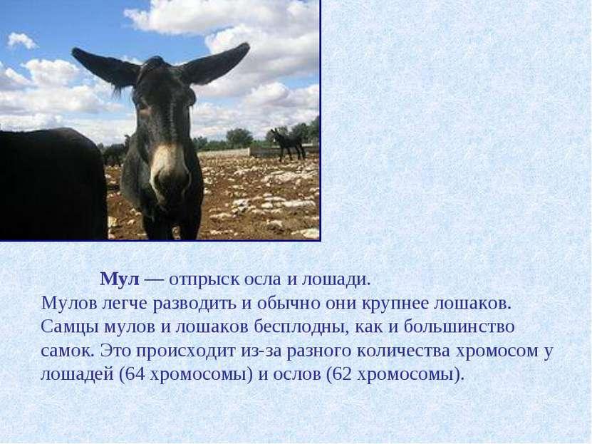 Мул — отпрыск осла и лошади. Мулов легче разводить и обычно они крупнее лошак...