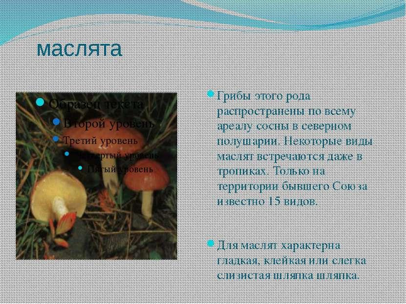 маслята Грибы этого рода распространены по всему ареалу сосны в северном полу...