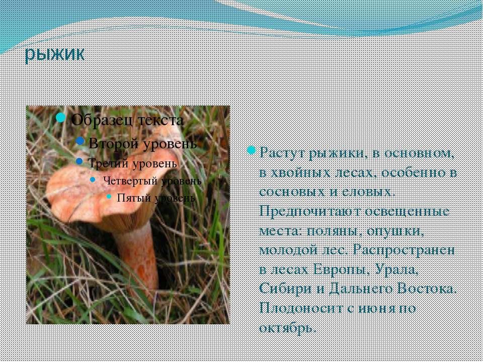 рыжик Растут рыжики, в основном, в хвойных лесах, особенно в сосновых и еловы...