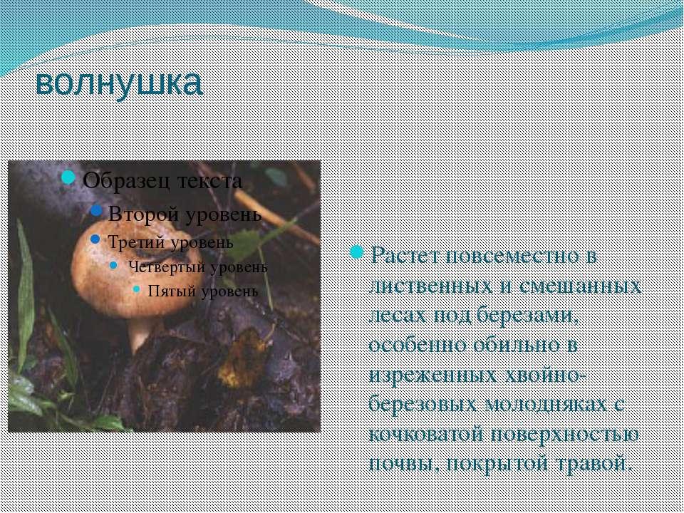 волнушка Растет повсеместно в лиственных и смешанных лесах под березами, особ...