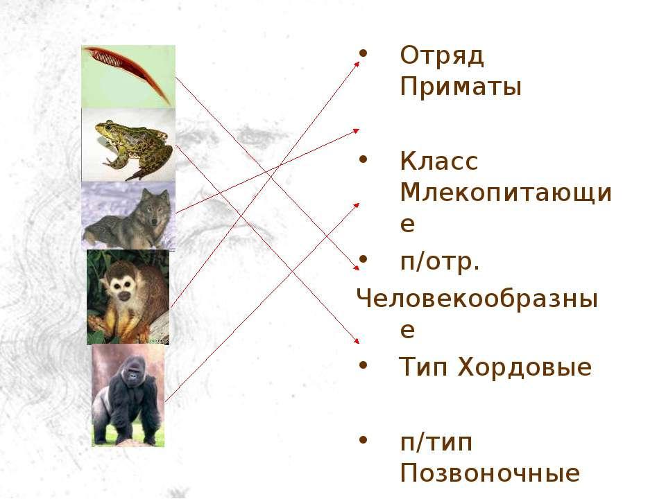 Отряд Приматы Класс Млекопитающие п/отр. Человекообразные Тип Хордовые п/тип ...