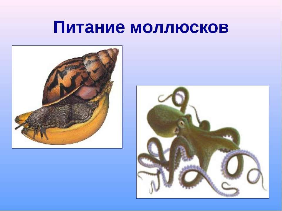 Питание моллюсков