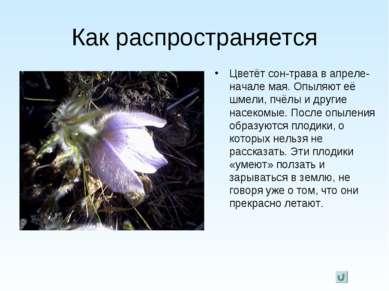 Как распространяется Цветёт сон-трава в апреле-начале мая. Опыляют её шмели, ...