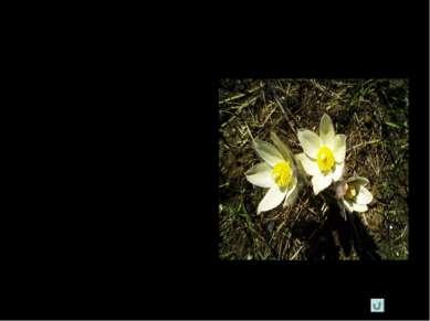 Что угрожает сон-траве ? Сон-трава – вид, охраняемый в Республике Коми. Рубка...