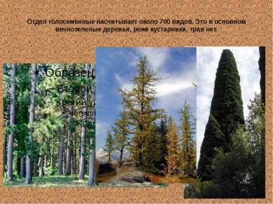 Отдел голосеменные насчитывает около 700 видов. Это в основном вечнозеленые д...
