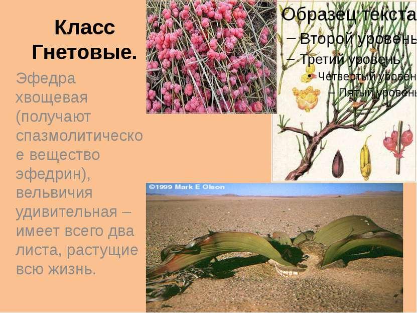 Класс Гнетовые. Эфедра хвощевая (получают спазмолитическое вещество эфедрин),...