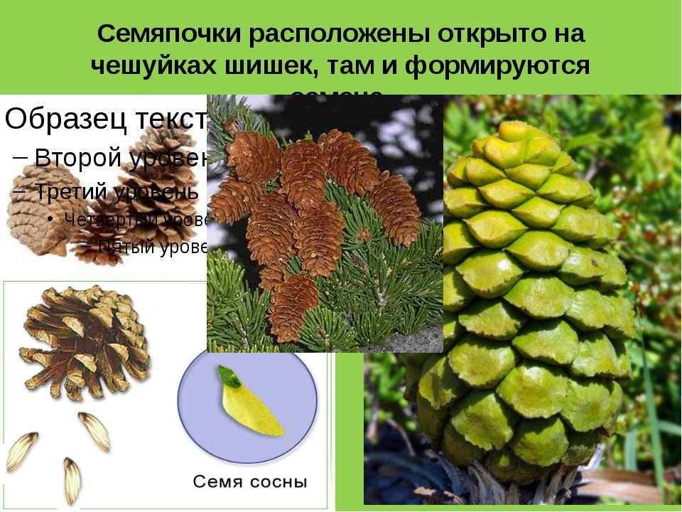 Семяпочки расположены открыто на чешуйках шишек, там и формируются семена.
