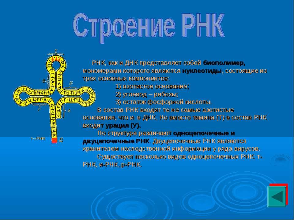 РНК, как и ДНК представляет собой биополимер, мономерами которого являются ну...