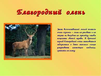 Благородный олень Этот величественный лесной житель очень скромен – лишь на р...