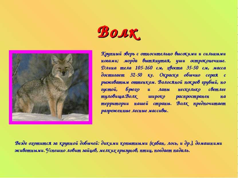 Волк Крупный зверь с относительно высокими и сильными ногами; морда вытянутая...