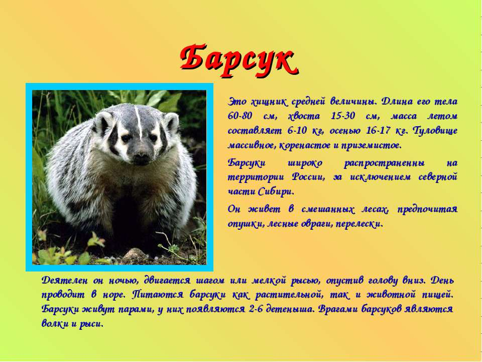 Барсук Это хищник средней величины. Длина его тела 60-80 см, хвоста 15-30 см,...