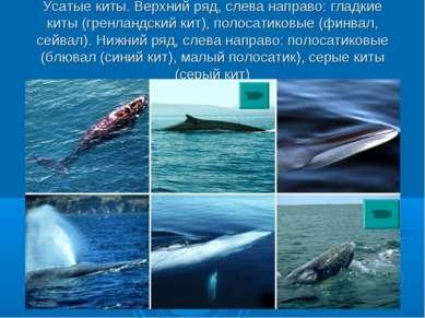 Усатые киты. Верхний ряд, слева направо: гладкие киты (гренландский кит), пол...