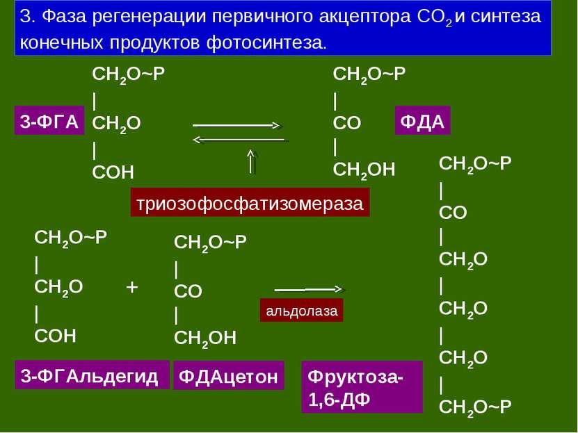 3. Фаза регенерации первичного акцептора СО2 и синтеза конечных продуктов фот...
