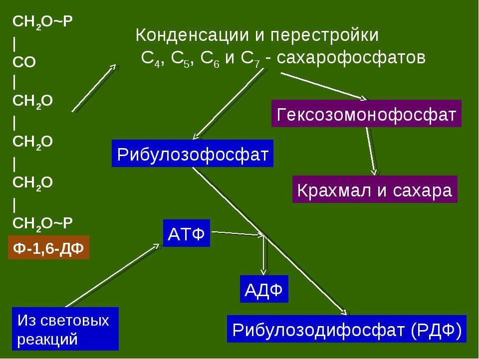 CH2O~P   CO   CH2O   CH2O   CH2O   CH2O~P Ф-1,6-ДФ Конденсации и перестройки ...