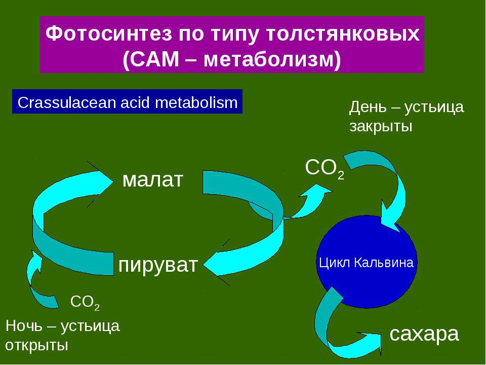 Фотосинтез по типу толстянковых (САМ – метаболизм) Crassulacean acid metaboli...