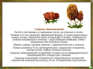 Сморчок обыкновенный Растет в лиственных и смешанных лесах, на опушках и поля...
