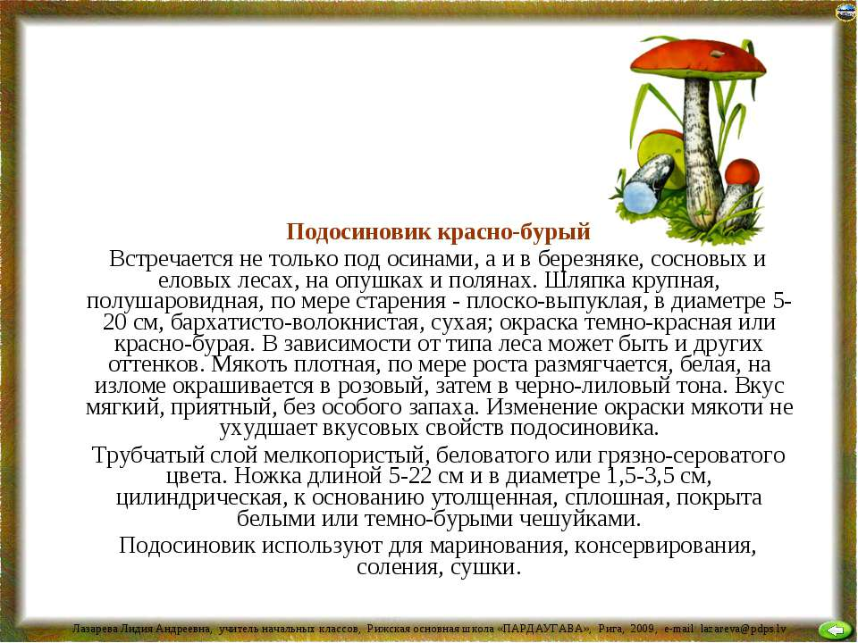 Подосиновик красно-бурый Встречается не только под осинами, а и в березняке, ...