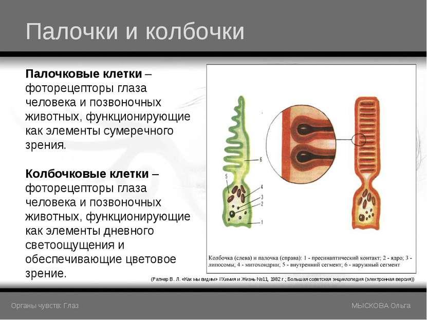 Палочки и колбочки (Ратнер В. Л. «Как мы видим» //Химия и Жизнь №11, 1982 г.;...