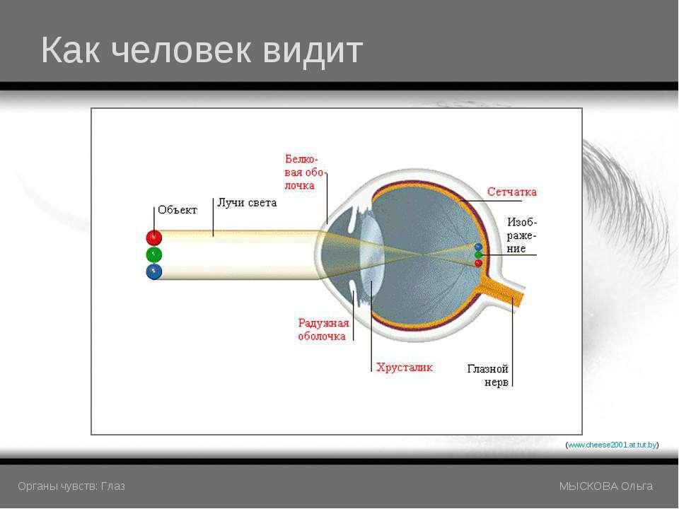 Как человек видит (www.cheese2001.at.tut.by) Органы чувств: Глаз МЫСКОВА Ольга