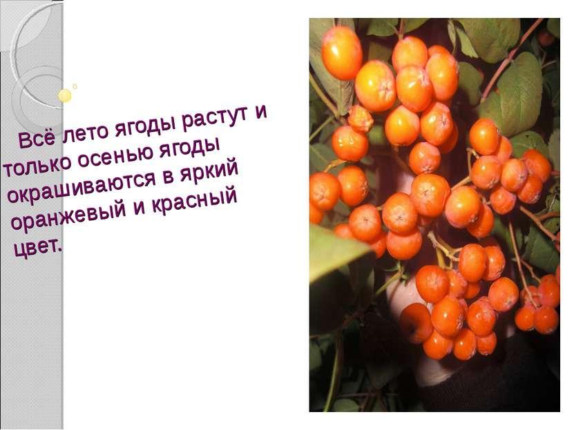 Всё лето ягоды растут и только осенью ягоды окрашиваются в яркий оранжевый и ...