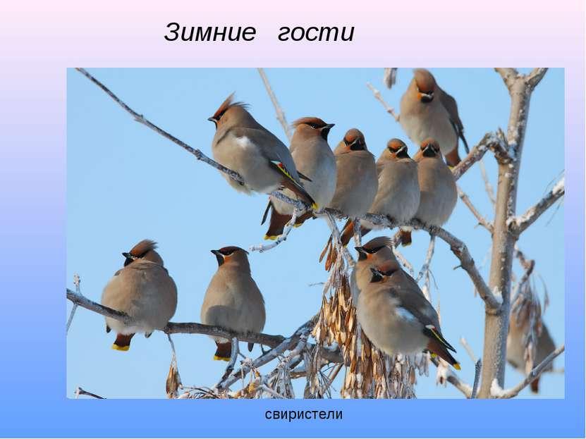 Зимние гости свиристели