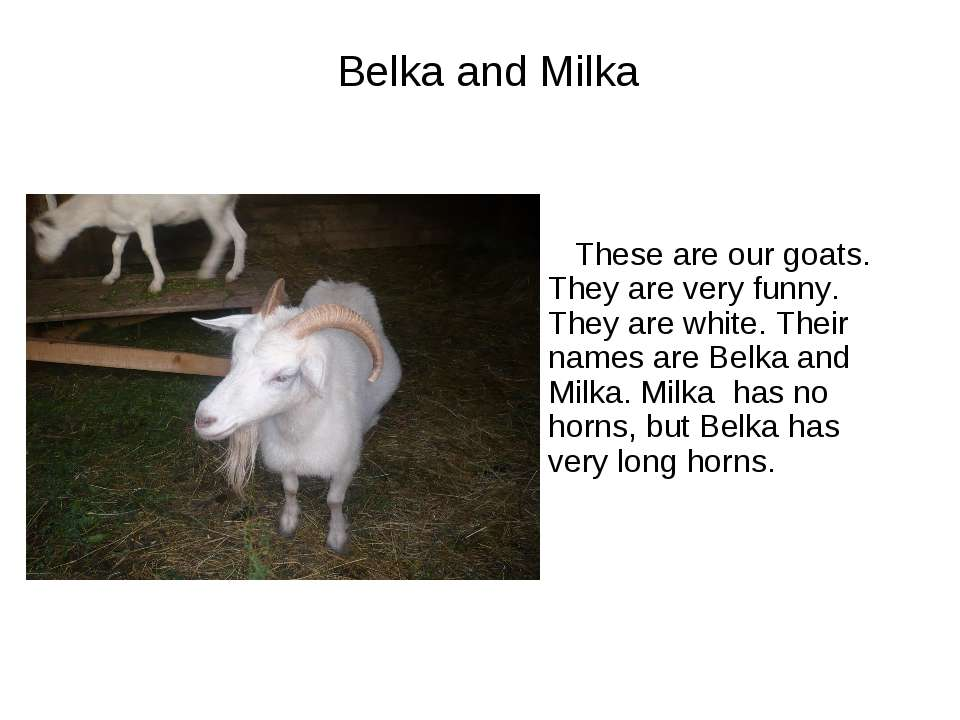Belka and Milka These are our goats. They are very funny. They are white. The...