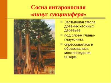 Сосна янтароносная «пинус сукцинифера» Застывшая смола древних хвойных деревь...