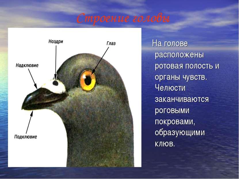 Строение головы На голове расположены ротовая полость и органы чувств. Челюст...