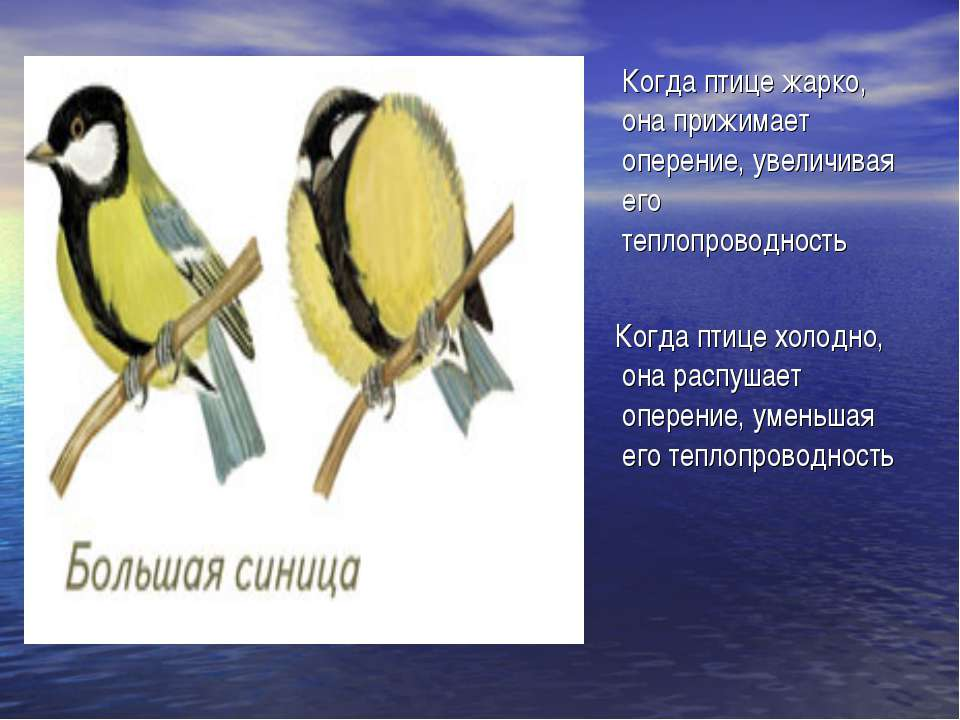 Когда птице жарко, она прижимает оперение, увеличивая его теплопроводность Ко...