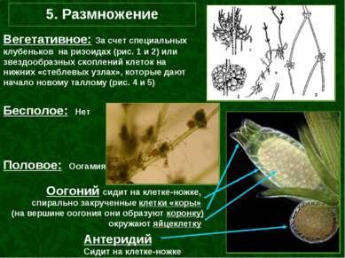 5. Размножение Вегетативное: За счет специальных клубеньков на ризоидах (рис....